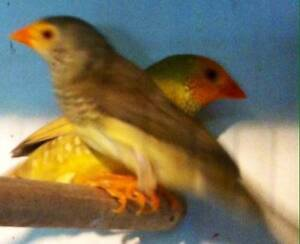 lots of finches available Whittlesea Whittlesea Area Preview