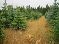 Evergreen trees for sale