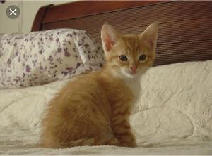 LF: Orange Tabby Kitten
