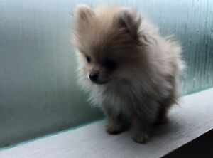 Adorable super Tiny Pomeranian
