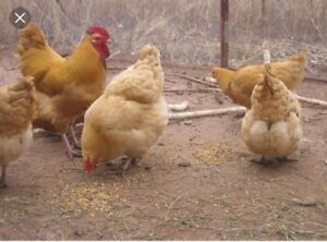 Wanted: Orpington chickens