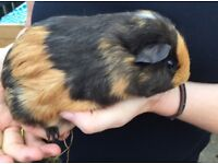 Baby boy Guinea Pigs for sale