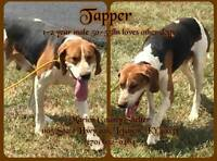 Tapper is a Male Coonhound.