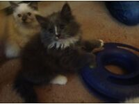 Gorgeous half Persian kittens ready march