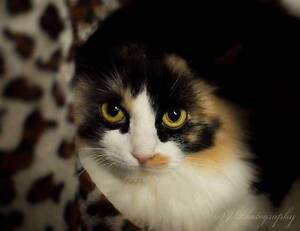 AC0381: Sassy - CAT for ADOPTION - Vet work included Ocean Reef Joondalup Area Preview