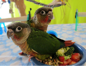 Baby Conures for sale. Green Cheek/Yellow Sided/Pineapple
