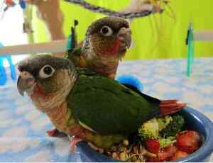 Baby Conures for sale. Green Cheek/ Yellow Sided/ Pineapple