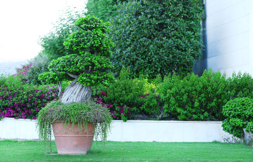 Decor for patios and balconies ornamental trees and for Small ornamental trees