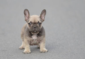 Beautiful exotic French Bulldog puppies for sale!