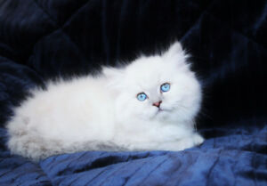 Blue Eyed Persian Kittens are ready for their new homes