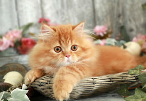 WANTING A KITTEN/CAT! Persian/Himi/Main Coon/Calico! PLEASE!