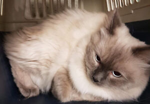 1 year male ragdoll pure not fixed
