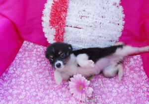 Sweet Papillon x puppies: Small, Cute  & Fluffy