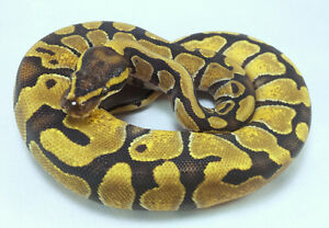 Available 2015 Ball Pythons