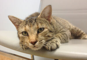 Rescued cat looking for someone with a really big heart! Kitchener / Waterloo Kitchener Area image 2