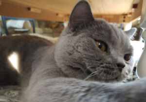 Purebred Blue British Shorthair Male Cat