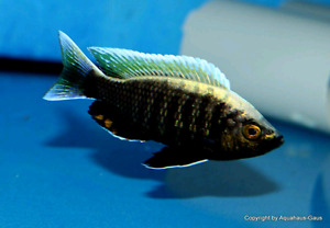 Quality Wild and German cichlids