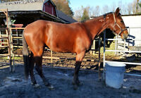 Handsome and sweet 2 y/o Standardbred, 16hh - Great prospect!