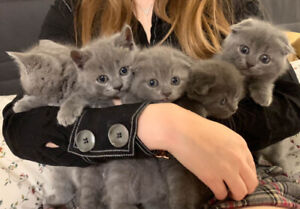 Yellow Eyes British Short hair Kittens(straight and fold ear)