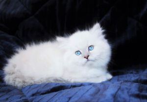 Dollface Persian kittens with Blue Eyes for Rehoming