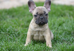 Gorgeous French Bulldog puppies looking for loving homes!