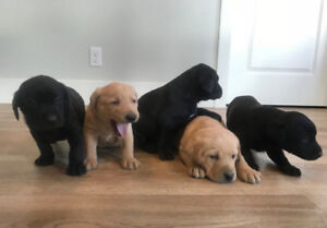 CKC Registered Labrador Puppies, black and red