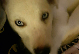 Blue Eyed Pure Alaskan Husky ... house trained ***