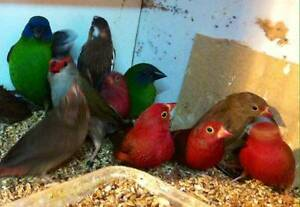 finches for sale many varieties SOME REDUCED IN PRICE Whittlesea Whittlesea Area Preview