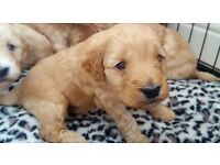 Gorgeous F2 cockapoos puppies available PRA clear