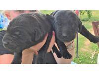 DRAKESHEAD black labrador dog puppies