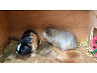 2 guiny pig's for sale