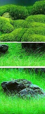 Wassergras grüne robuste Wasserpflanzen für den Teich Teichpflanzen Teichpflanze