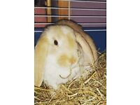 Dwarf lop Rabbit for sale