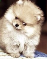 Teacup Pomeranian pups-READY THIS FRIDAY