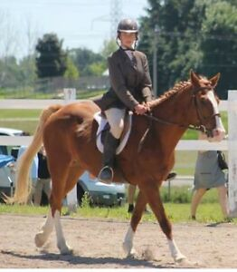 Quarter Horse x Welsh Pony for sale  Cambridge Kitchener Area image 2