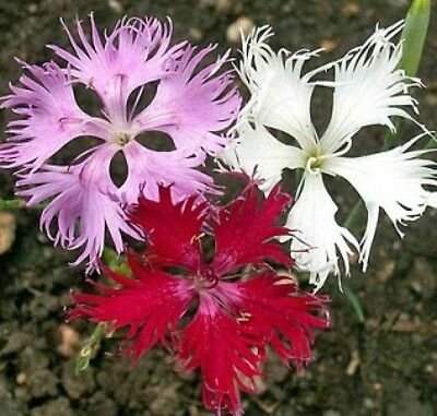 FRINGED PINKS 100 FRESH FLOWER SEEDS FREE SHIPPING Free Flower Seeds