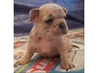 French bull digs ~ Rare dogs for sale (rarest in world) all breeds