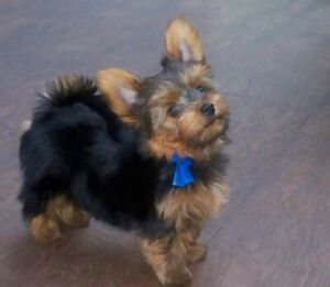 Yorkie   Adopt Dogs & Puppies Locally in British Columbia