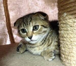 Scottish Fold Kittens Moonee Ponds Moonee Valley Preview