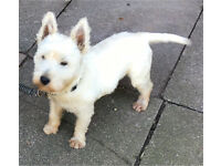 1year old west highland terrier for sale