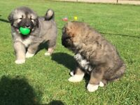 Quality Caucasian Shepherd puppies