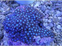 Zoa for sale