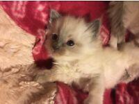 Adorable full Ragdoll kittens 1 left