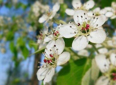 Pyrus Betulifolia Birchleaf Pear Tree Seeds