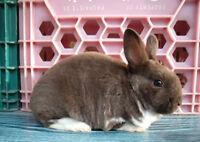 Bébés lapins mâles et femelles Rex Miniature (Mini-Rex)