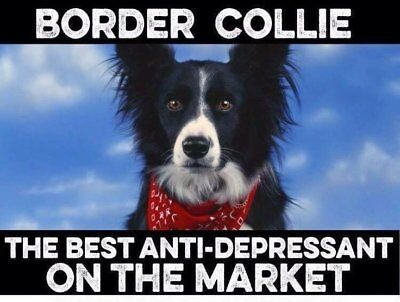 "Border Collie  dog  refrigerator magnet 3 1/2 X 4 1/2 """