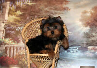 Yorkshire Terrier - Yorkie MALE