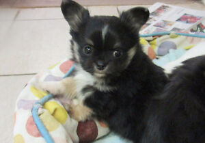 Chihuahuas puppies, CKC reg. Kitchener / Waterloo Kitchener Area image 4