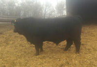 Simmental x Angus Yearling Bull