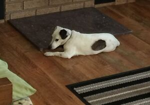 Jack Russell missing from near Morriston